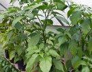 Regal mit Jolokia Pflanzen