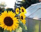 Sonnenblumen neben dem Gewächshaus